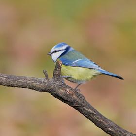 Sýkorka modřinka