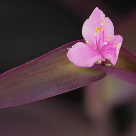 Kvetoucí voděnka