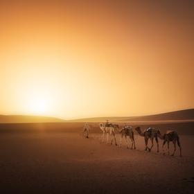 Velbloudi při západu slunce