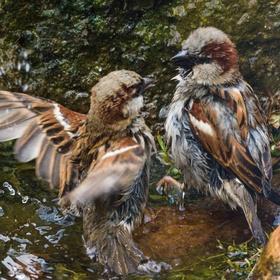 vrabci v akci