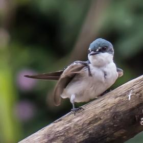 Ptáci v NP Tortuguero