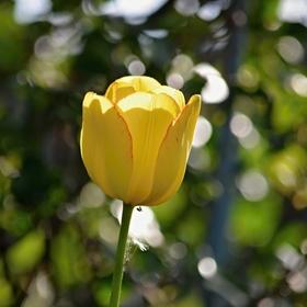 Tulipán v podvečerním světle