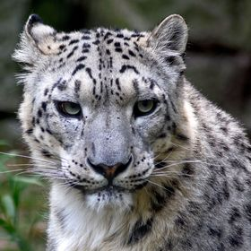 Irbis (Panthera uncia, formerly also Uncia uncia)