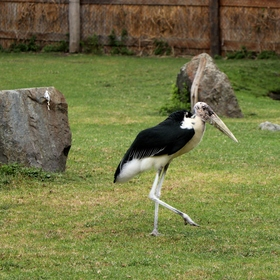 Marabu na procházce