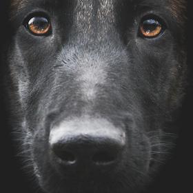 Detail psí hlavy