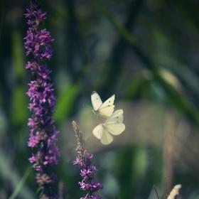 motýlí