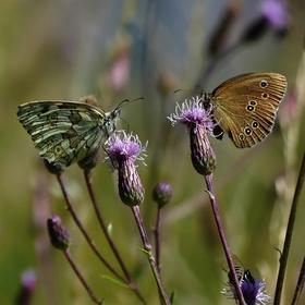 Dva okáči na besedě a včelka hlídá....(voňavkový a prosičkový)