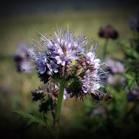 Fialová kráska aneb léto to ještě nevzdává :-) ( s včelkou akrobatkou)