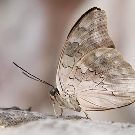Motýl v bělavé