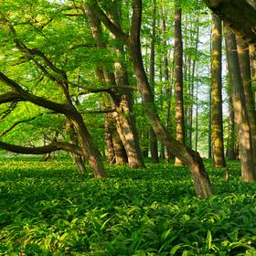 Blucherův les