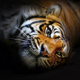 Dravý pohled tygra Sumaterského...