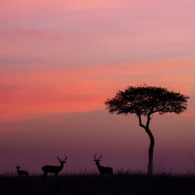 Krásné růžové ráno v Masai Mara