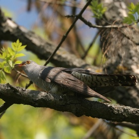 Kukačka obecná (Cuculus canorus)