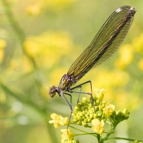 Motýlice lesklá (Calopteryx splendens)......