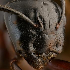 Mravčia kráľovna