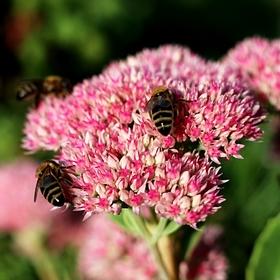 Pilné včelky
