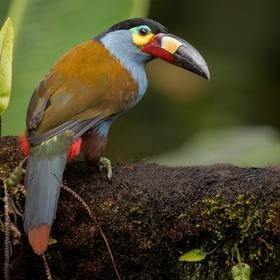 Tukan modrý (Andigena laminirostris) Plate-billed mountain toucan