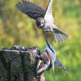 Atak vrabce.
