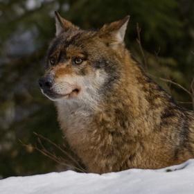 Vlk na Šumavě