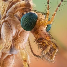 Tipula.