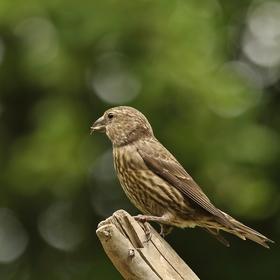 Ptáček zvaný šiškožrout :)