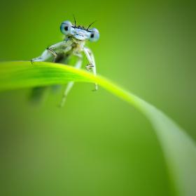 --Platycnemis pennipes--