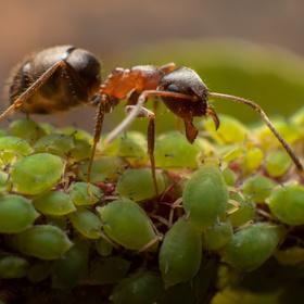 Mravenec a mšice