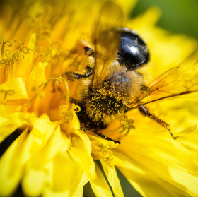 nenažraná včela