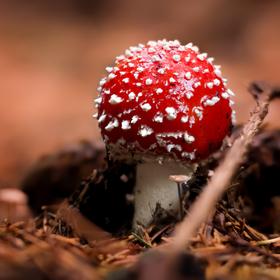 Mochomůrka červená - Amanita muscaria II.