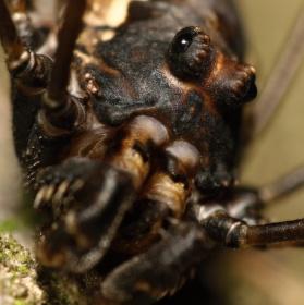 Pavouk sekáč