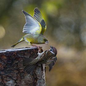 Zvonek zelený vs vrabec polní