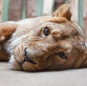 Roztomilá lvice