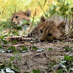 Gepardí mláďata