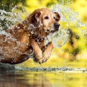 Ráchel, pes vodní.