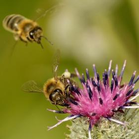 Včely a jeden květ