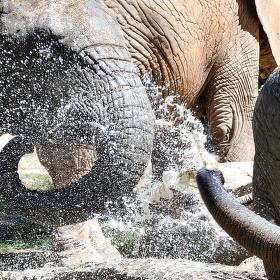 sloní vapka