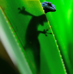Lygodactylus Lygodactylus williamsi