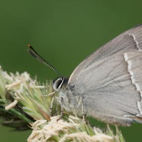Ostruháček dubový (Neozephyrus quercus)