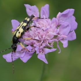 Tesařík skvrnitý (Strangalia maculata)