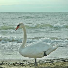 Mořská labuť