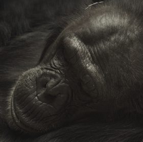 Šimpanz...
