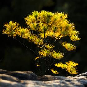 Bastei - borovice