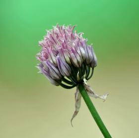 květ šnitlíku