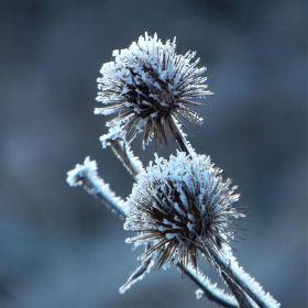 Arctium tomentosum v zime.