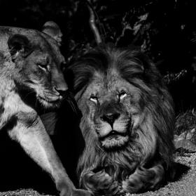 Lví milenci