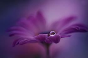 fialová kvapôčka