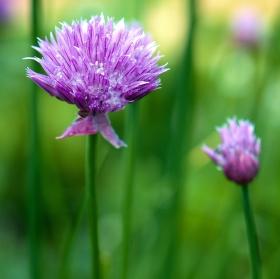Kvetoucí pažitka