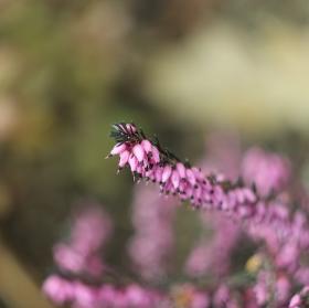Vřes     Calluna vulgaris ´Perestrojka´