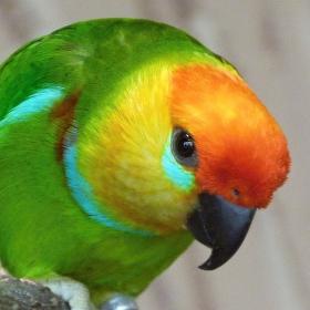Papoušek Lori