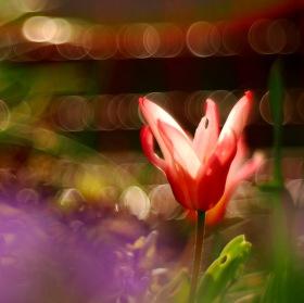 Tulipánová abstrakce ..